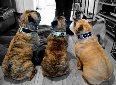 French bulldog collars uk