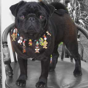 pug in boho dog collar