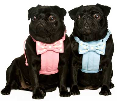Bow Harnesses<br>Small or Medium for Pugs<br>Made to order<br><font color=