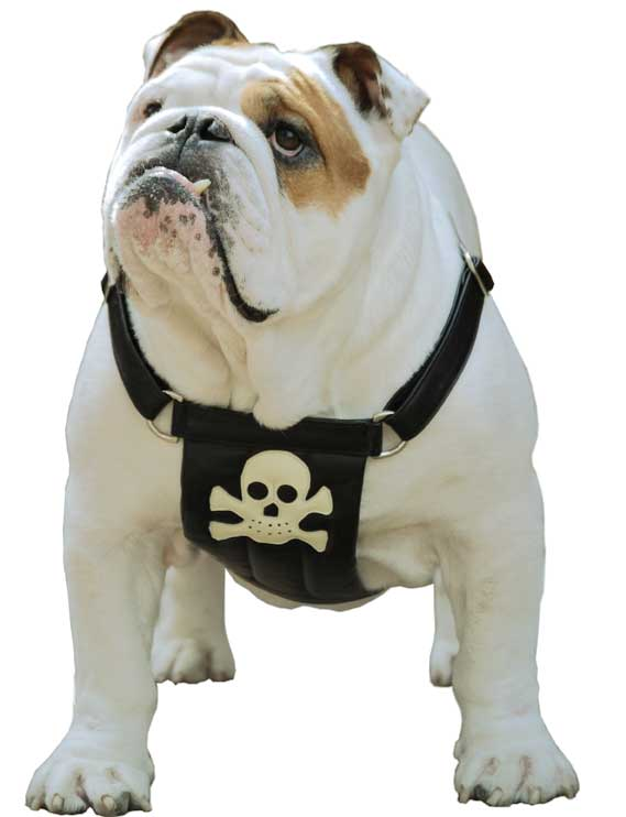 Pirate Calf Leather Dog Harness - Holly & Lil Collars Handmade in Britain, Leather dog collars, leads & Dog harnesses.