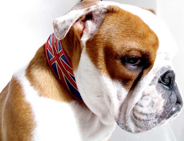 bull dog collars