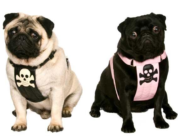 Pugs Pirate Harnessessmall Mediummade To Order 125