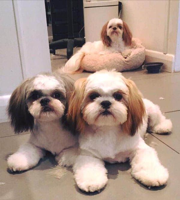 Shihtzus at Holly&Lil The Groomers