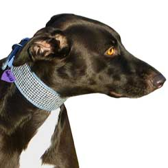 Greyhound in Scarista Harris Tweed collar Holly&Lil