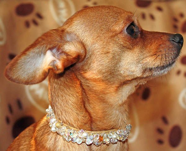 Gold Crystal dog collar on Chihuahua