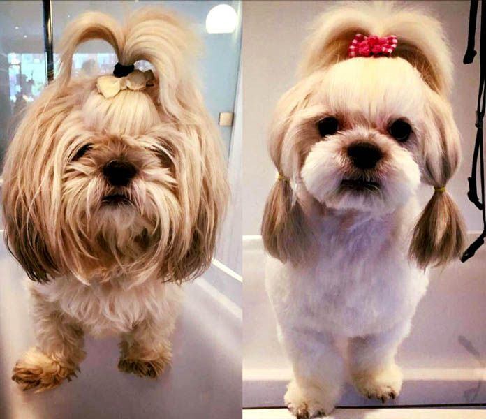 ShihTzu Lolita at Holly&Lil the Groomers