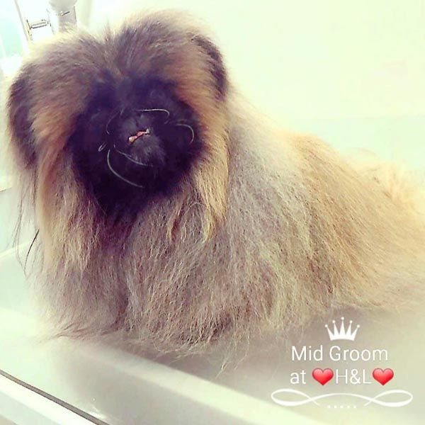 Pekingese brushed out at Holly&Lil The Groomers