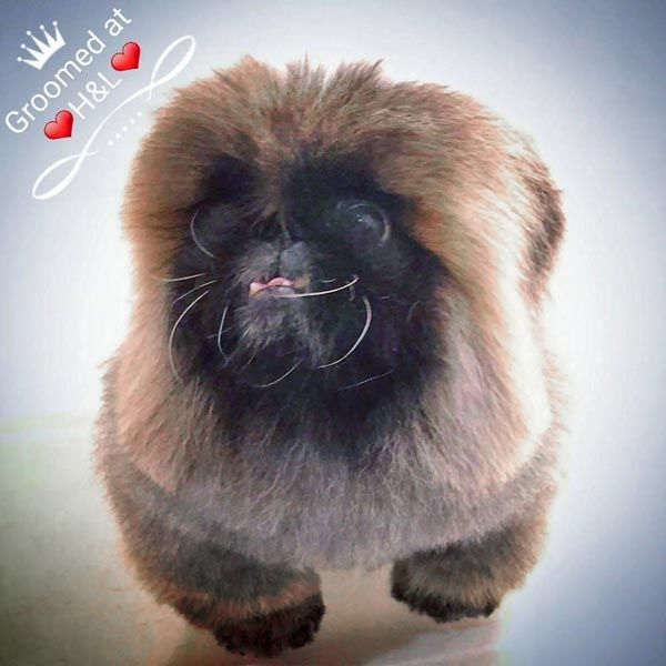 Pekingese groomed at Holly&Lil The Groomers